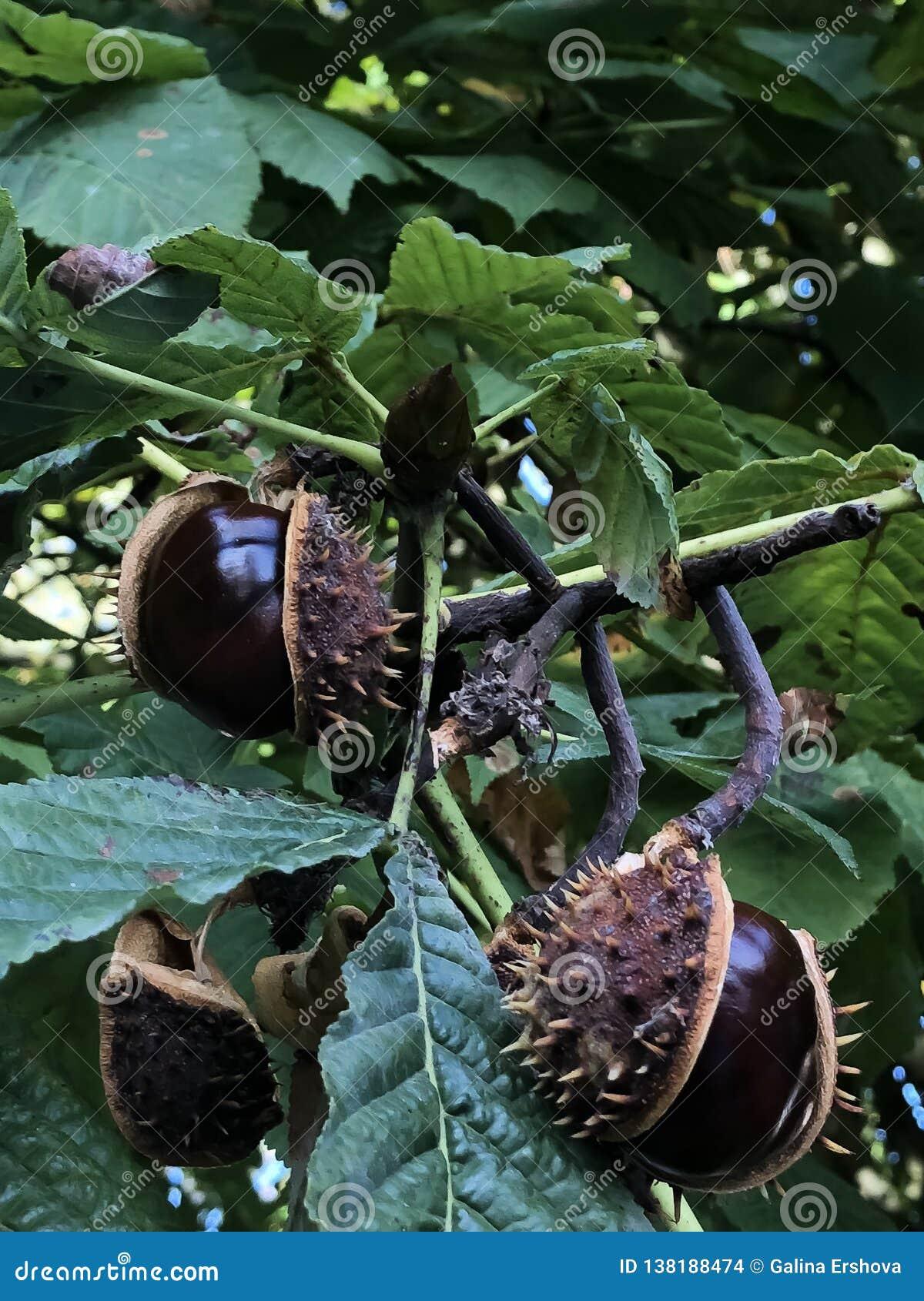 Gerijpte kastanjes die op een boom groeien
