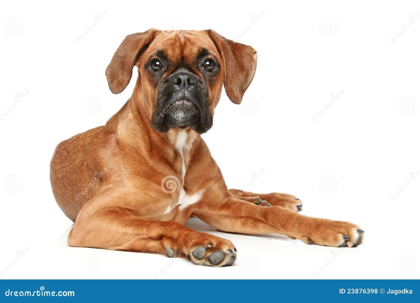 German Boxer puppy (5 month)