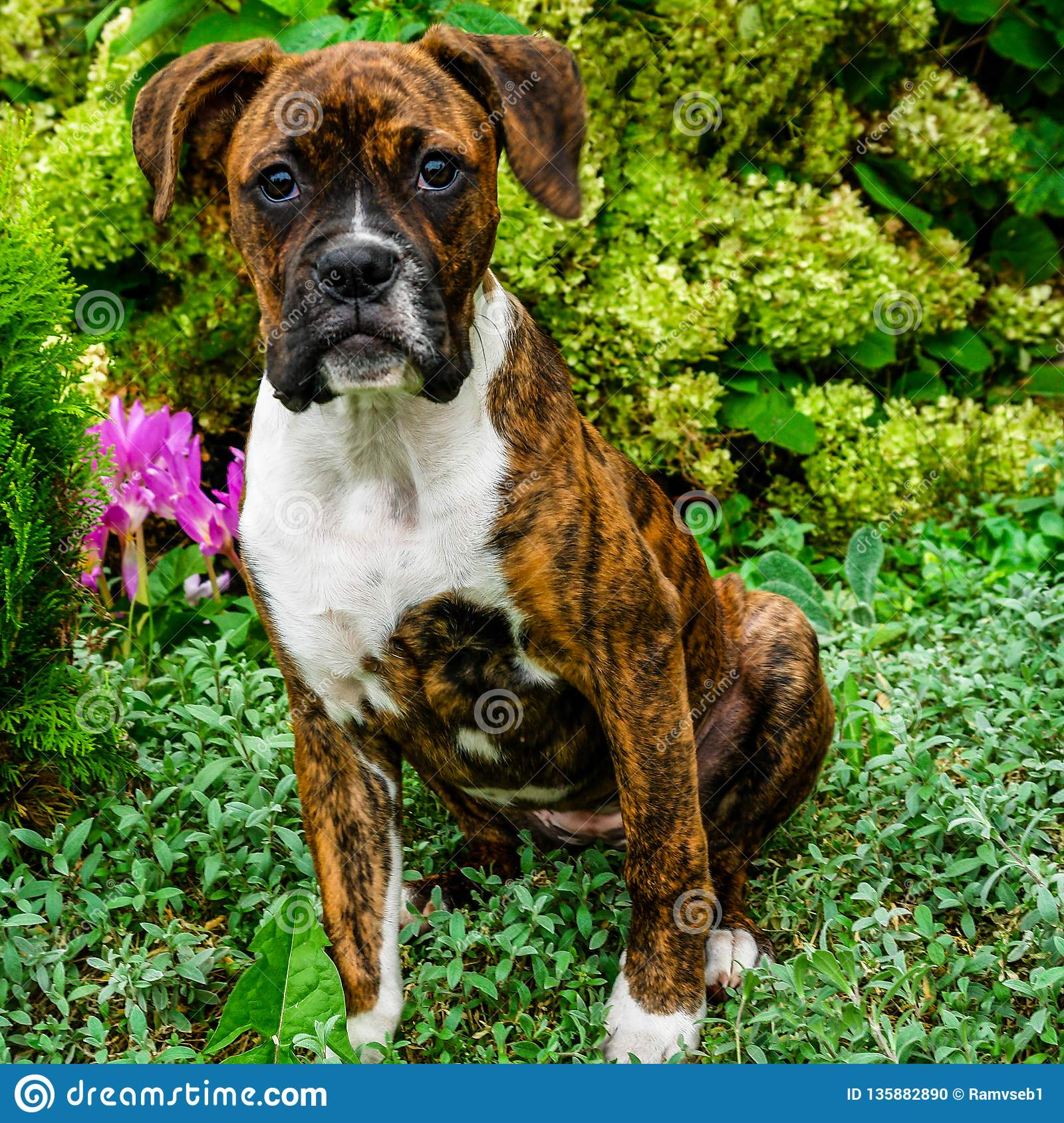 German Boxer Puppy Stock Photo Image Of Brown Puppies 135882890