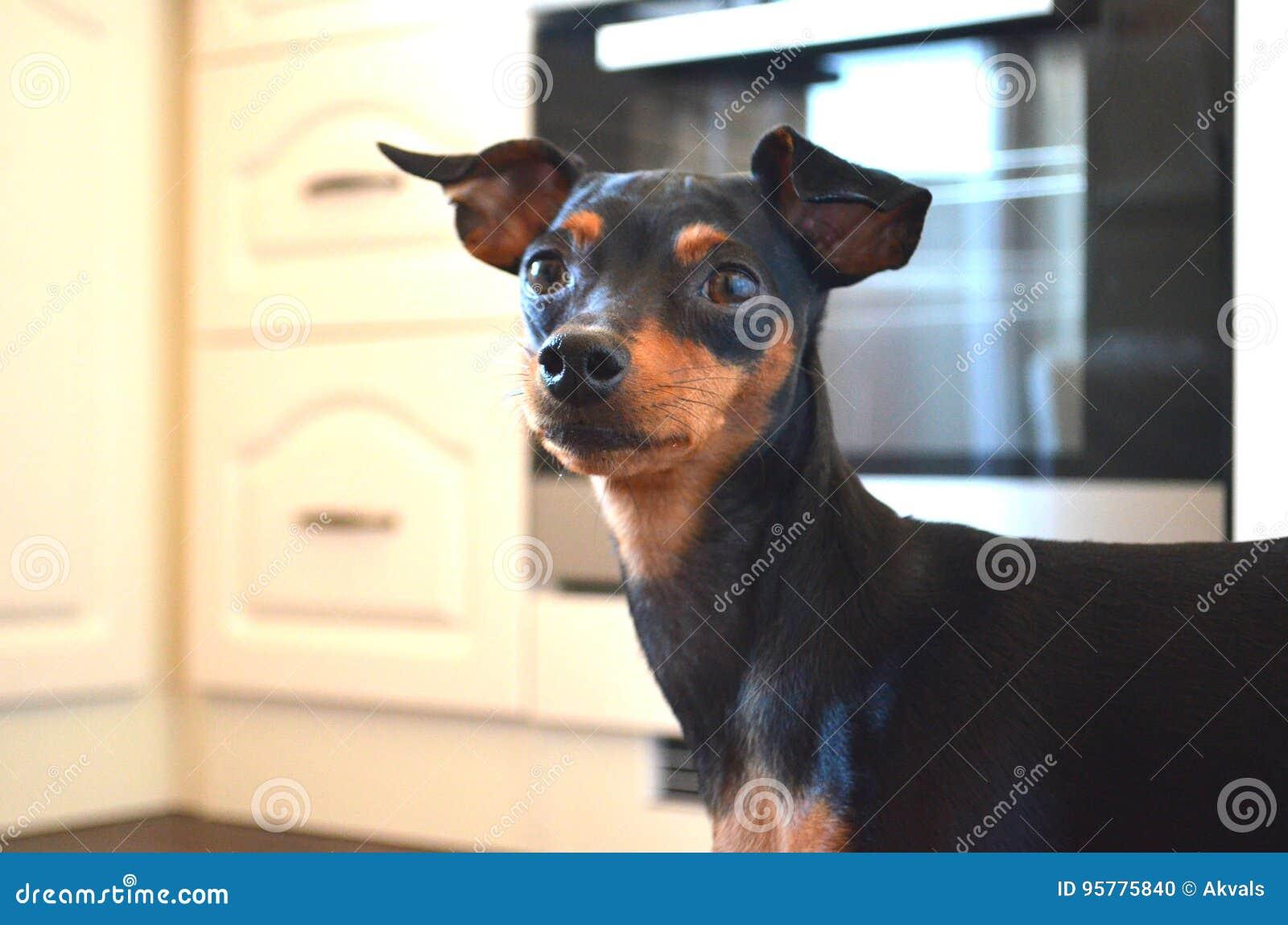 German Dog Breed Miniature Dwarf Pinscher Dog Stock Photo Image