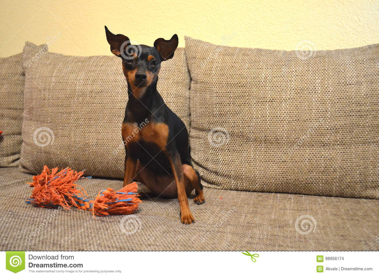 German Miniature Pinscher Pet Dog On A Sofa With Its Toy Stock Photo
