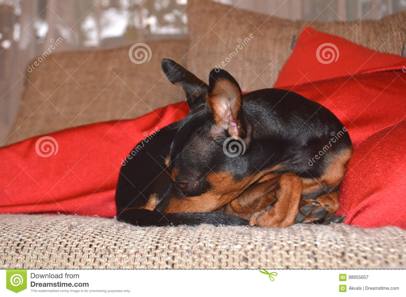 German Miniature Pinscher Pet Dog On A Sofa With Its Toy Stock Image