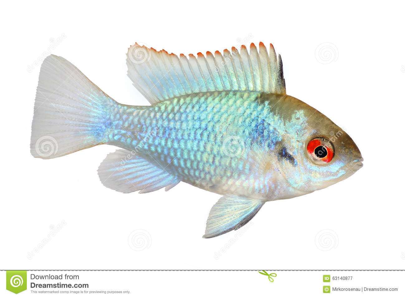 German Electric Blue Ram Dwarf Cichlid Mikrogeophagus