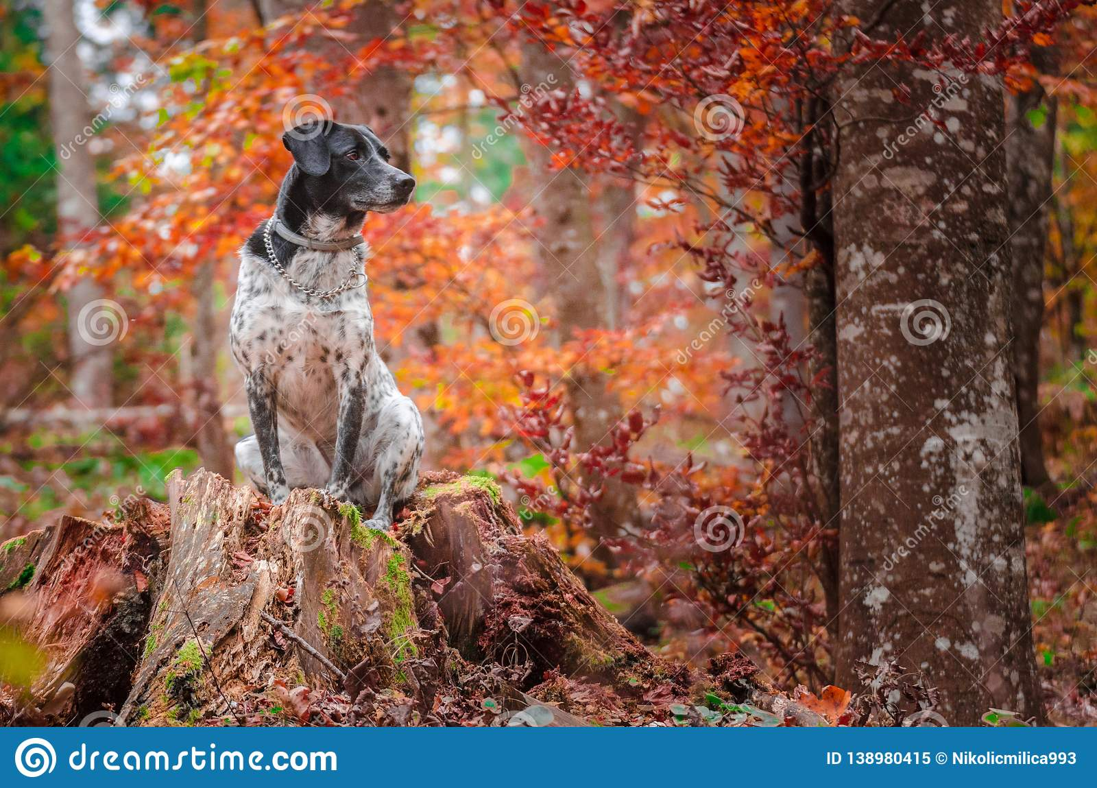German hunting dog posing in the colorful fall scenery
