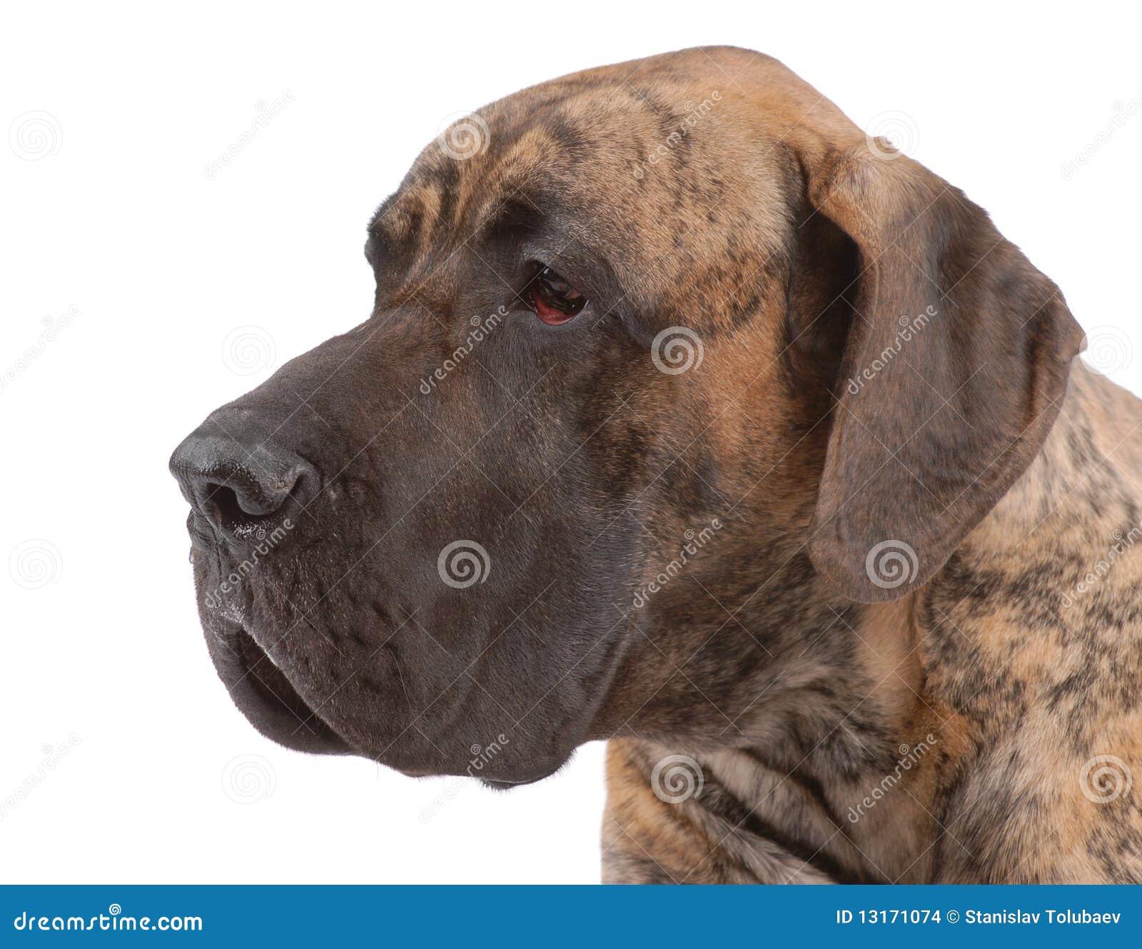 German Mastiff Stock Images - Image: 13171074  German Mastiff Breeds