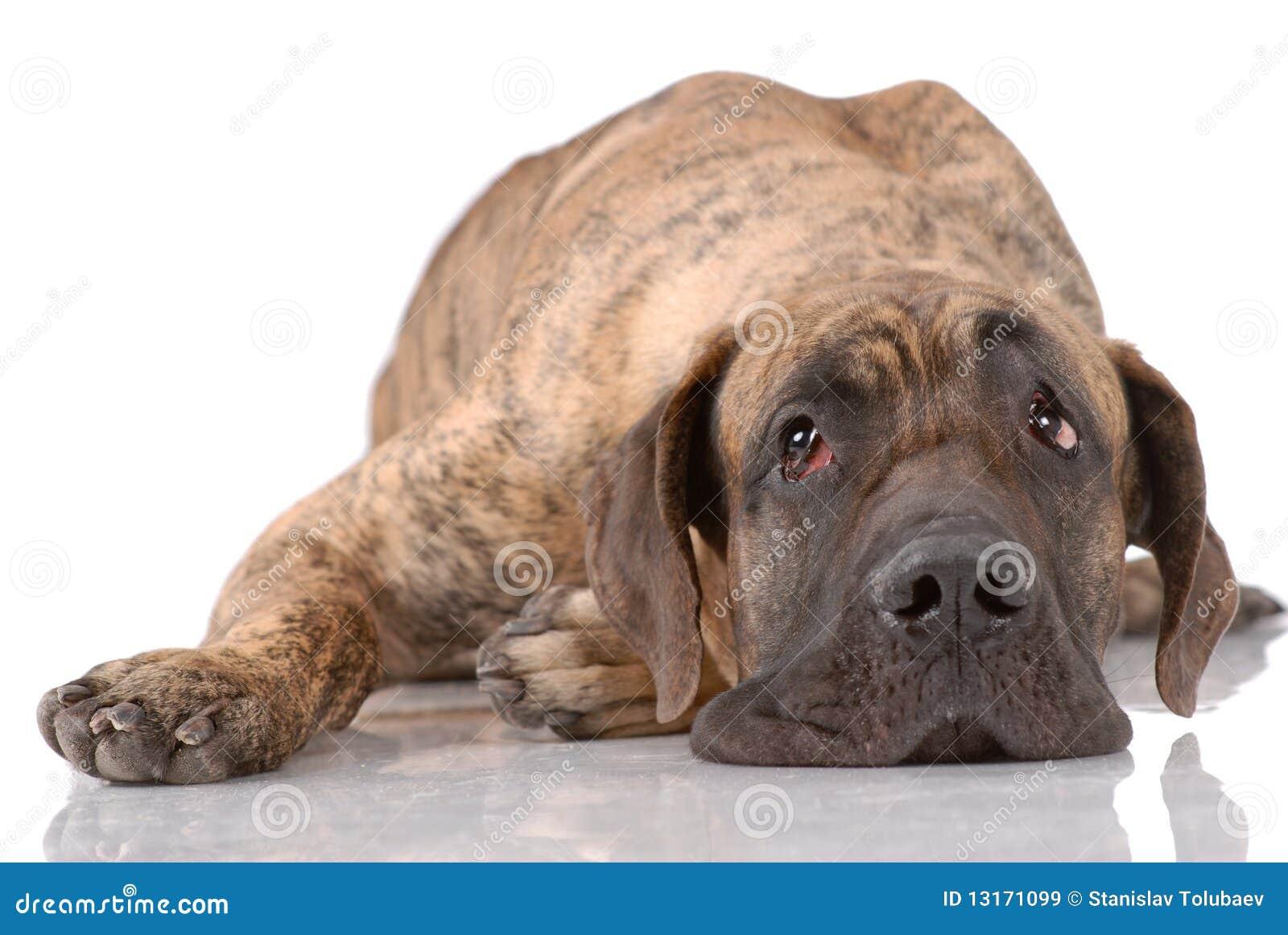 German Mastiff German mastiff isolated on