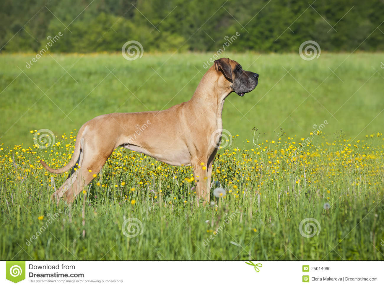 German mastiff