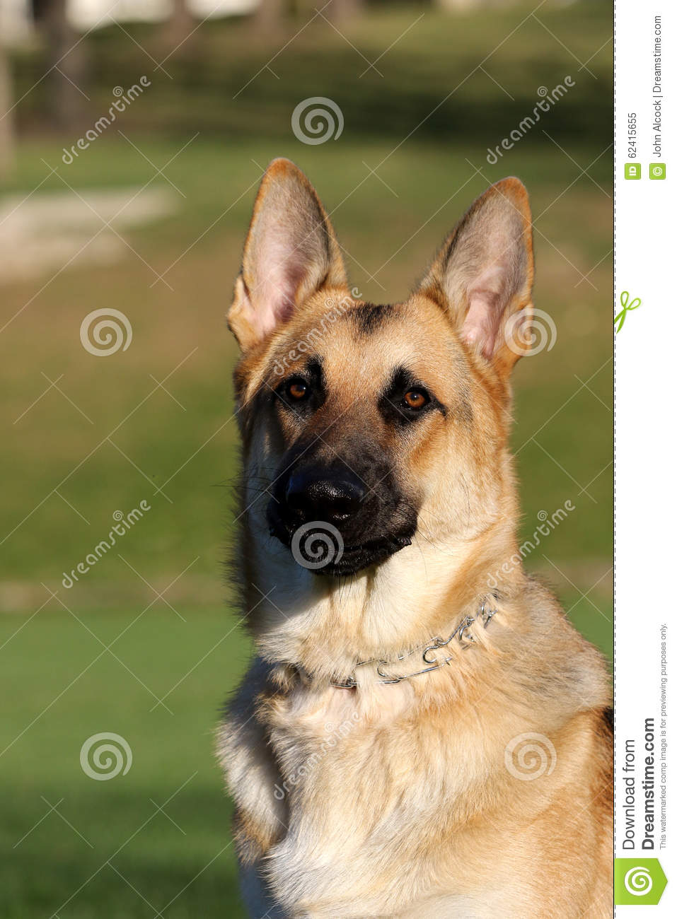 German Shepard Portrait Mouth Closed Stock Image Image Of Canine