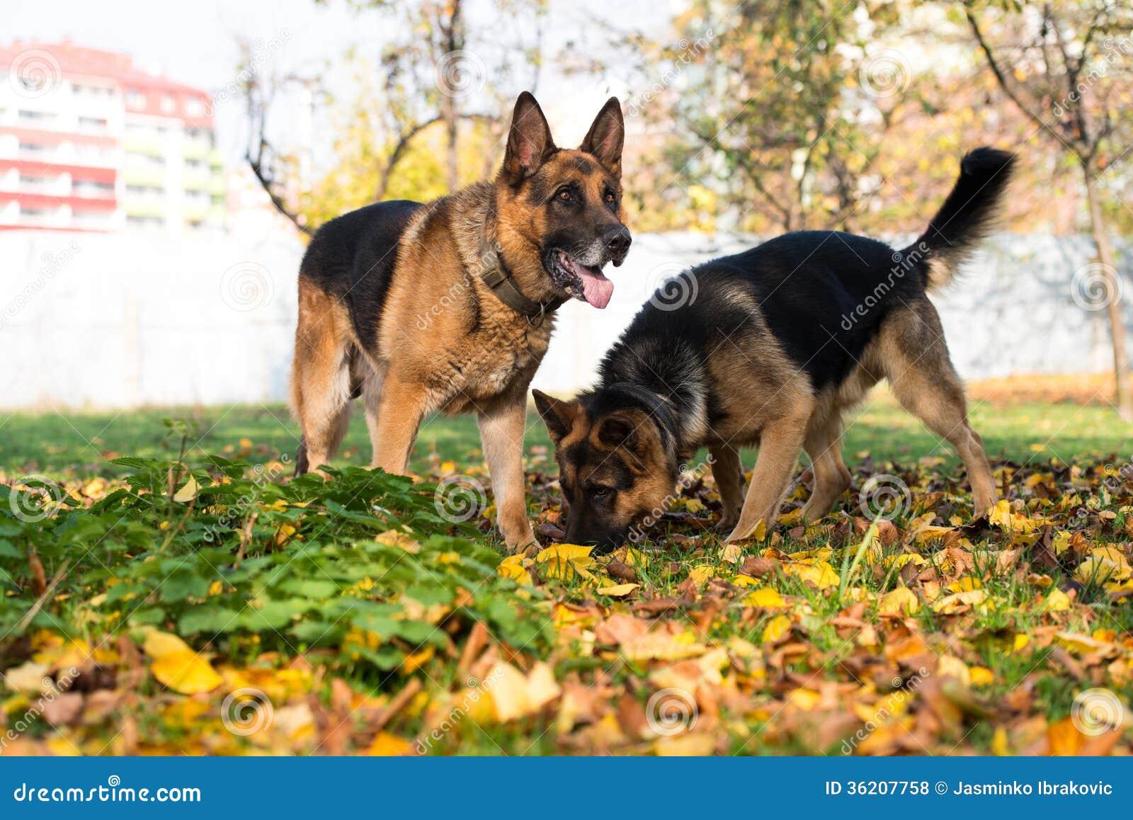 Dog German Shepherd Police