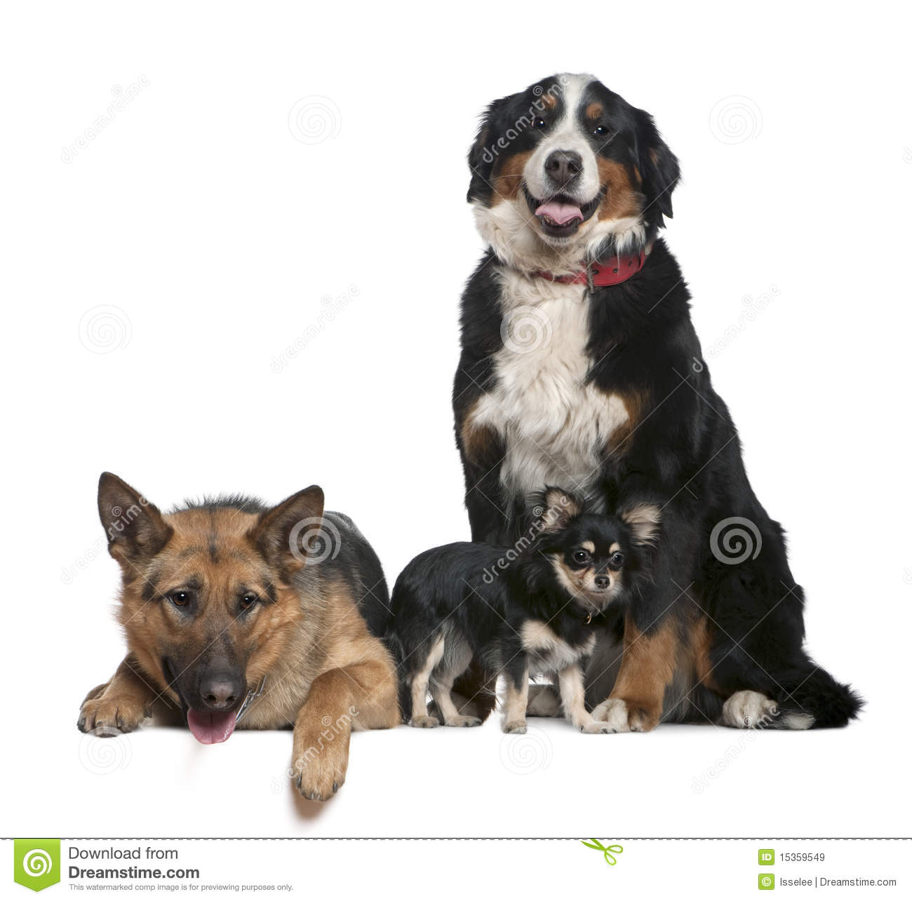 German shepherd dog bernese mountain dog and chihuahua 14 months 4