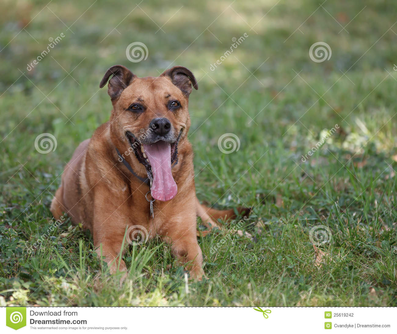 German Shepherd Boxer Rottweiller Mix Dog Smiling Stock Photo