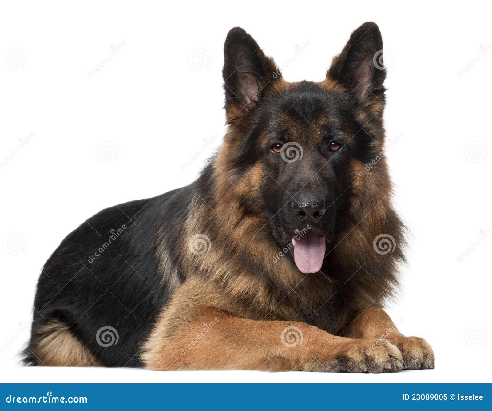 Close Up Of German Shepherd Dog 10 Years Old Stock Image Image Of