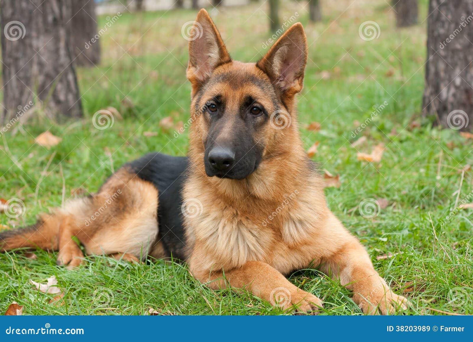 German Shepherd Dog Stock Image Image Of German Security 38203989