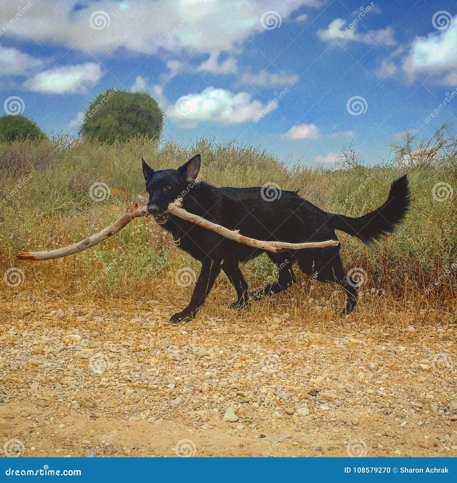 German shepherd dog fetch wooden stick