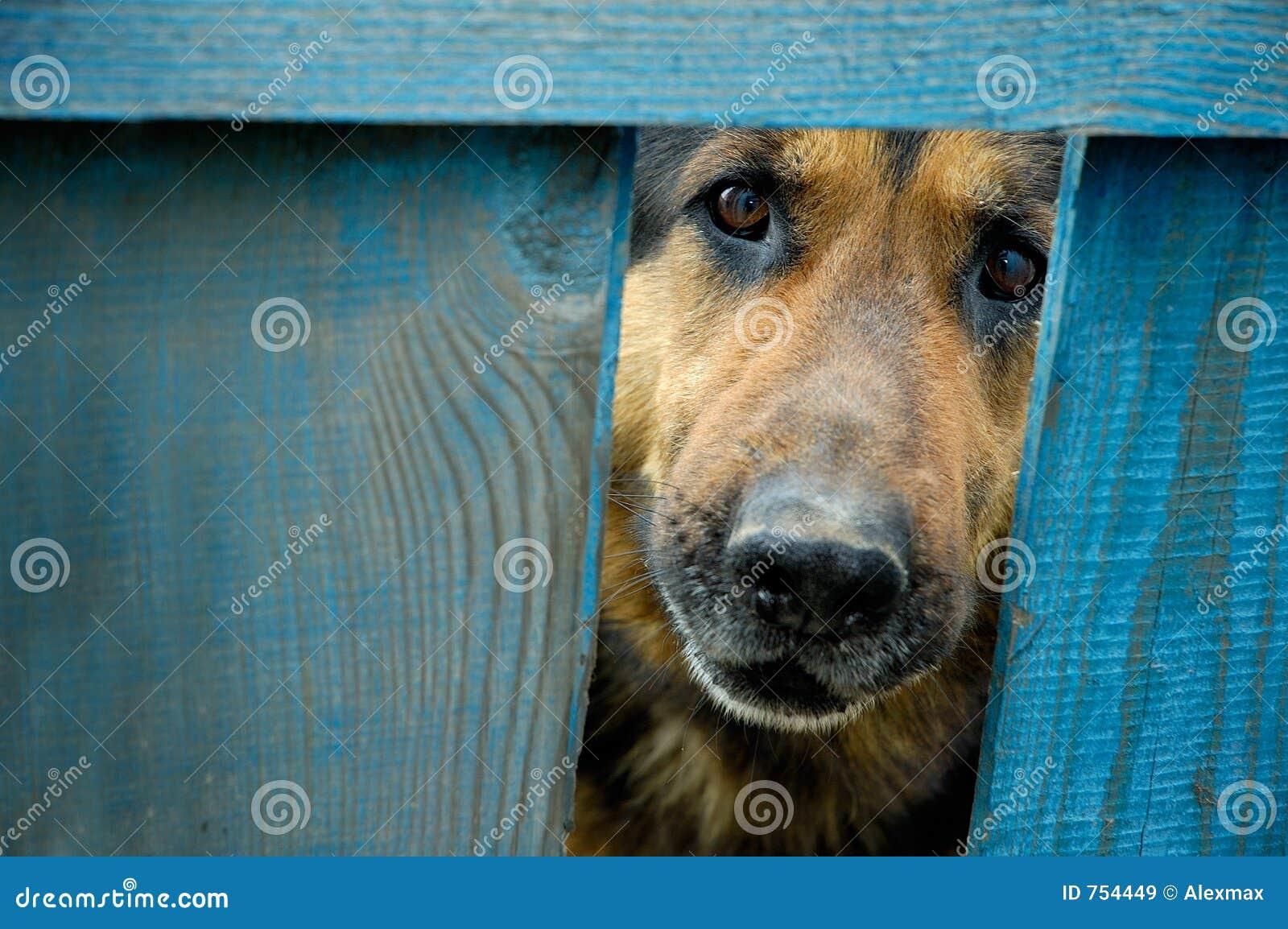 German shepherd dog house guard