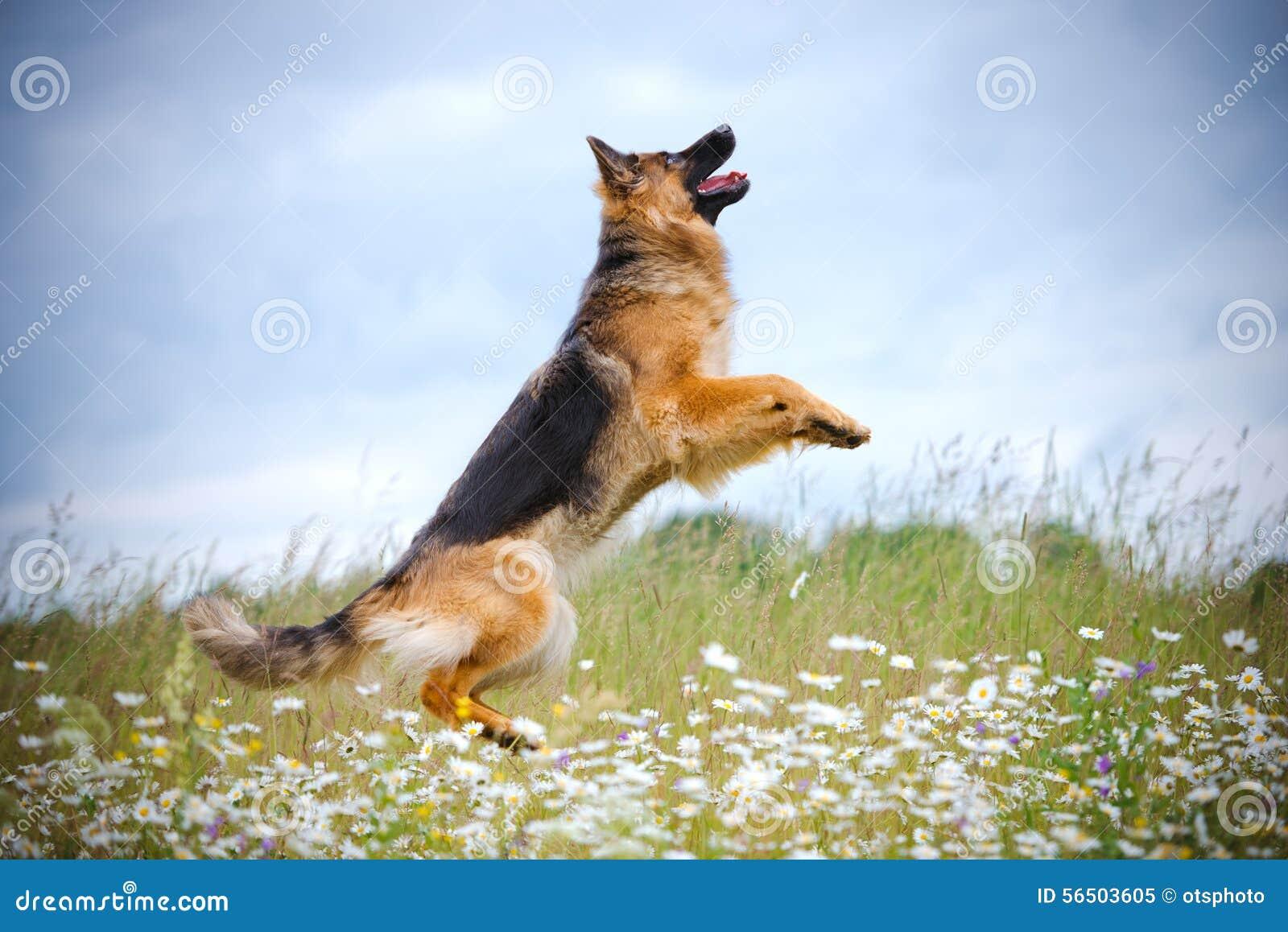 German shepherd dog jumping up