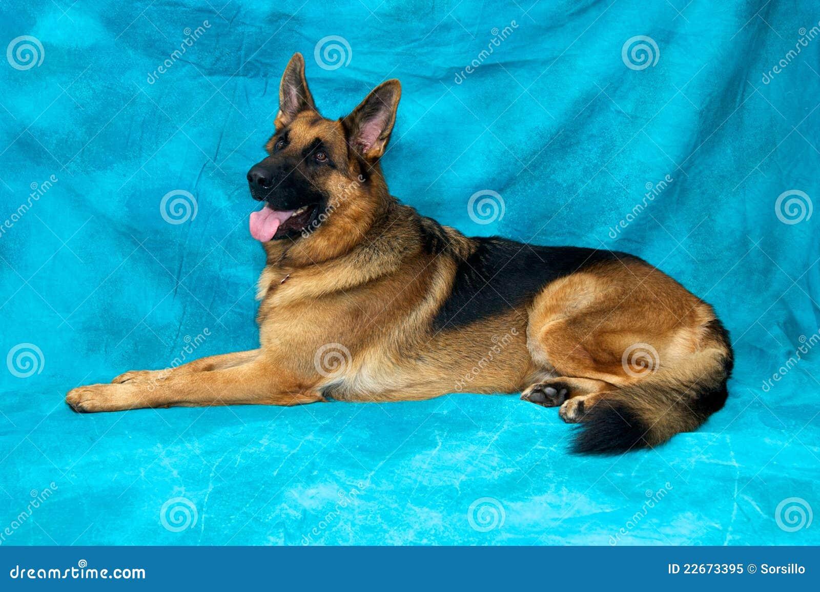 Dog Ear Laying Down