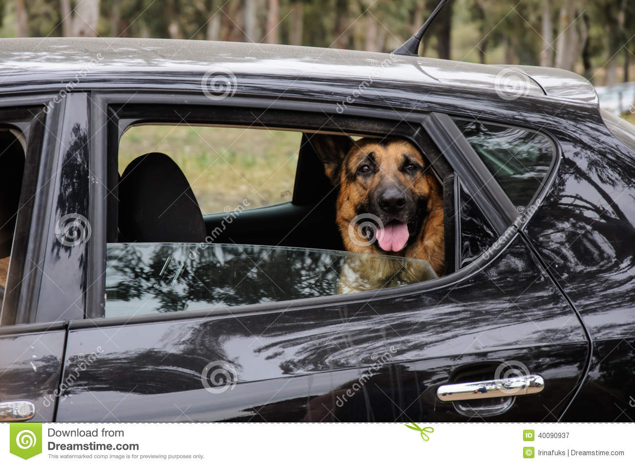 German shepherd dog looking out of a motor car window Shepherds motors