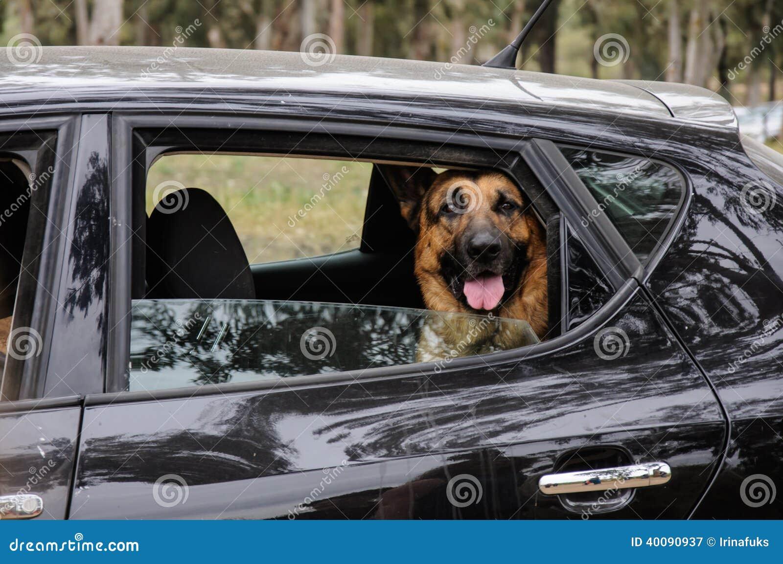 German Shepherd Dog Looking Out Of A Motor Car Window