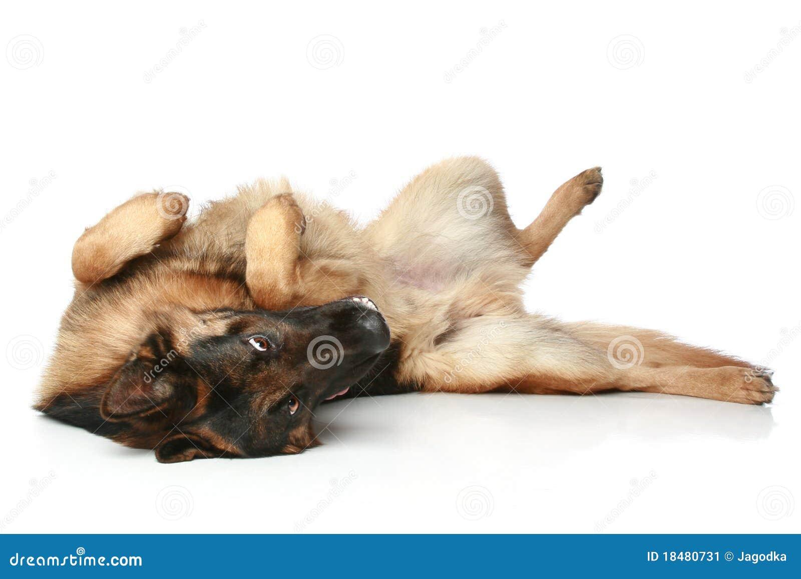 Wolf lying on back - photo#12
