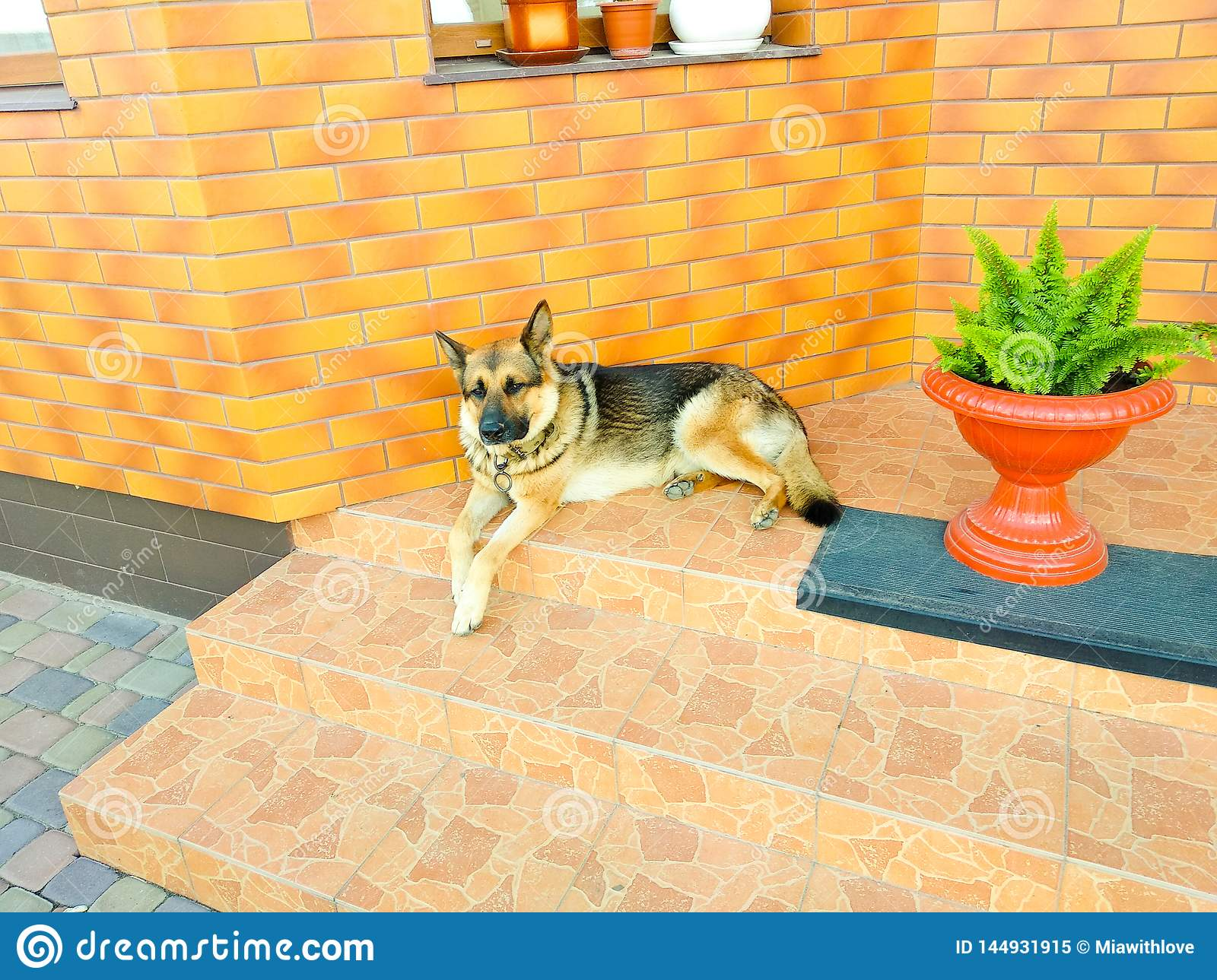 German shepherd dog lying on the stairs guards a private house on a sunny day