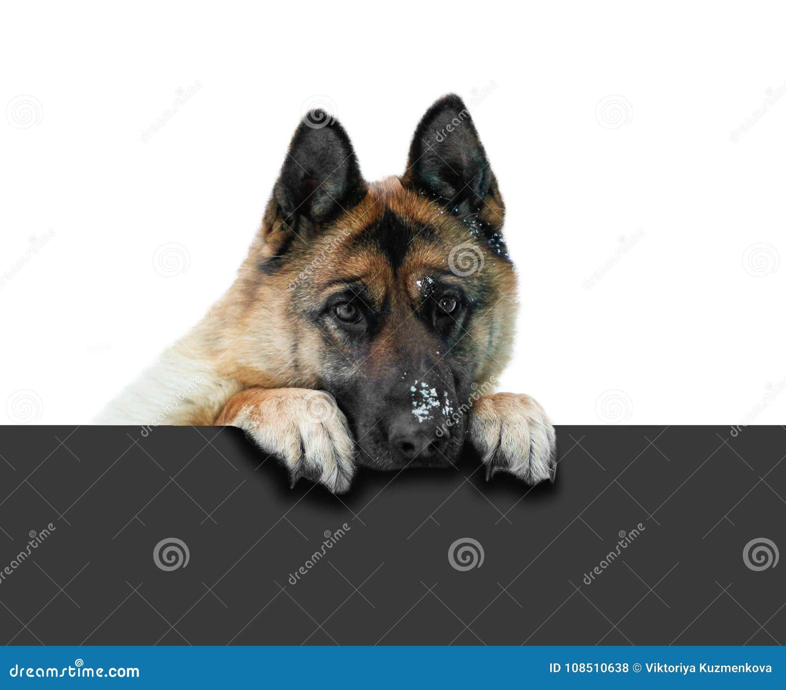 German Shepherd In Dark Sunglasses. Funny Portrait Stock ...
