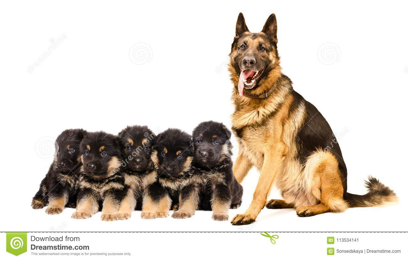 German Shepherd Dog With Puppies Stock Image Image Of