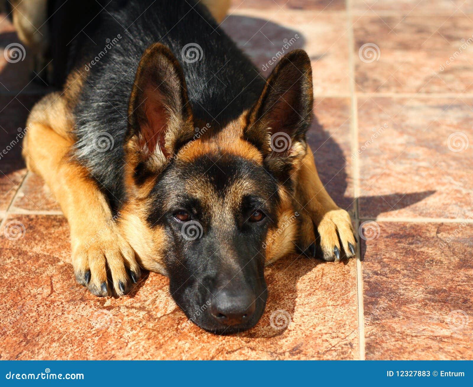 German Shepherd Dog Puppy Stock Photos Image 12327883