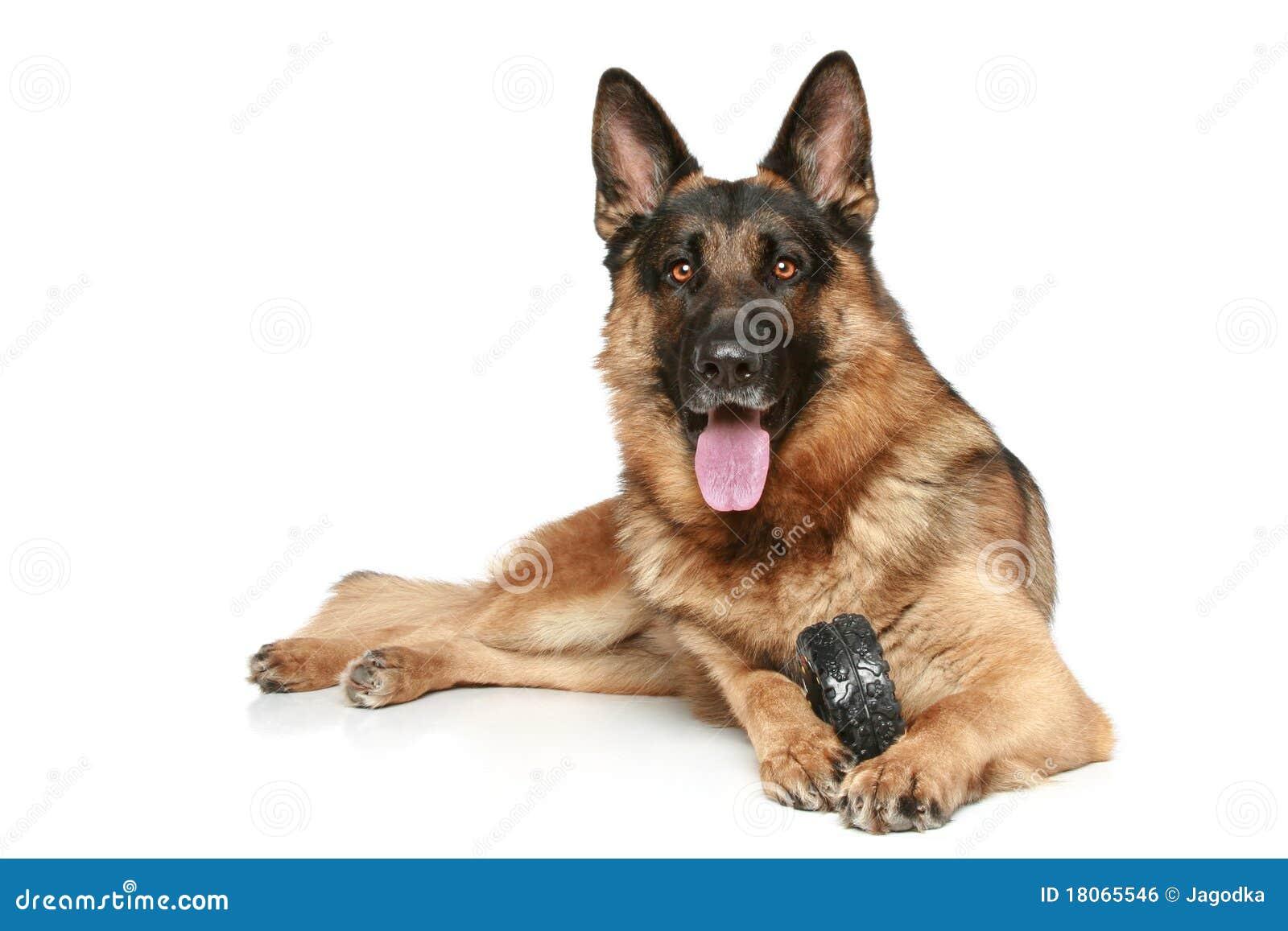 German Shepherd American Dog Show