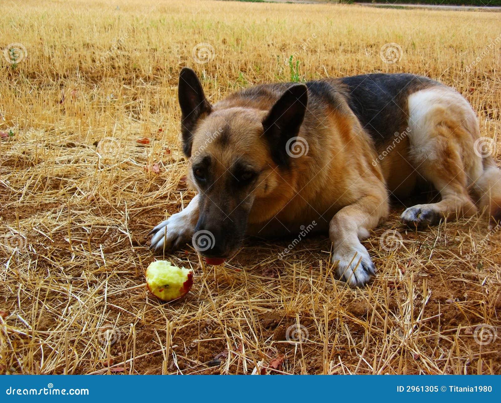 German Shepherd Eating An Apple Royalty Free Stock Photo