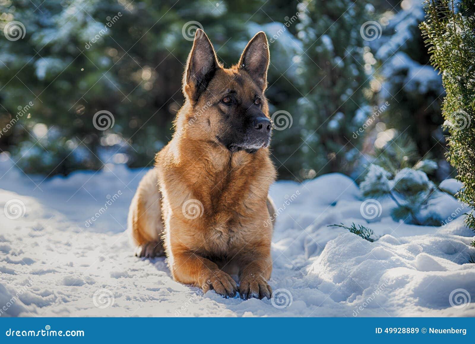 Beautiful Shepherd Lying On The White Snow Royalty-Free ...