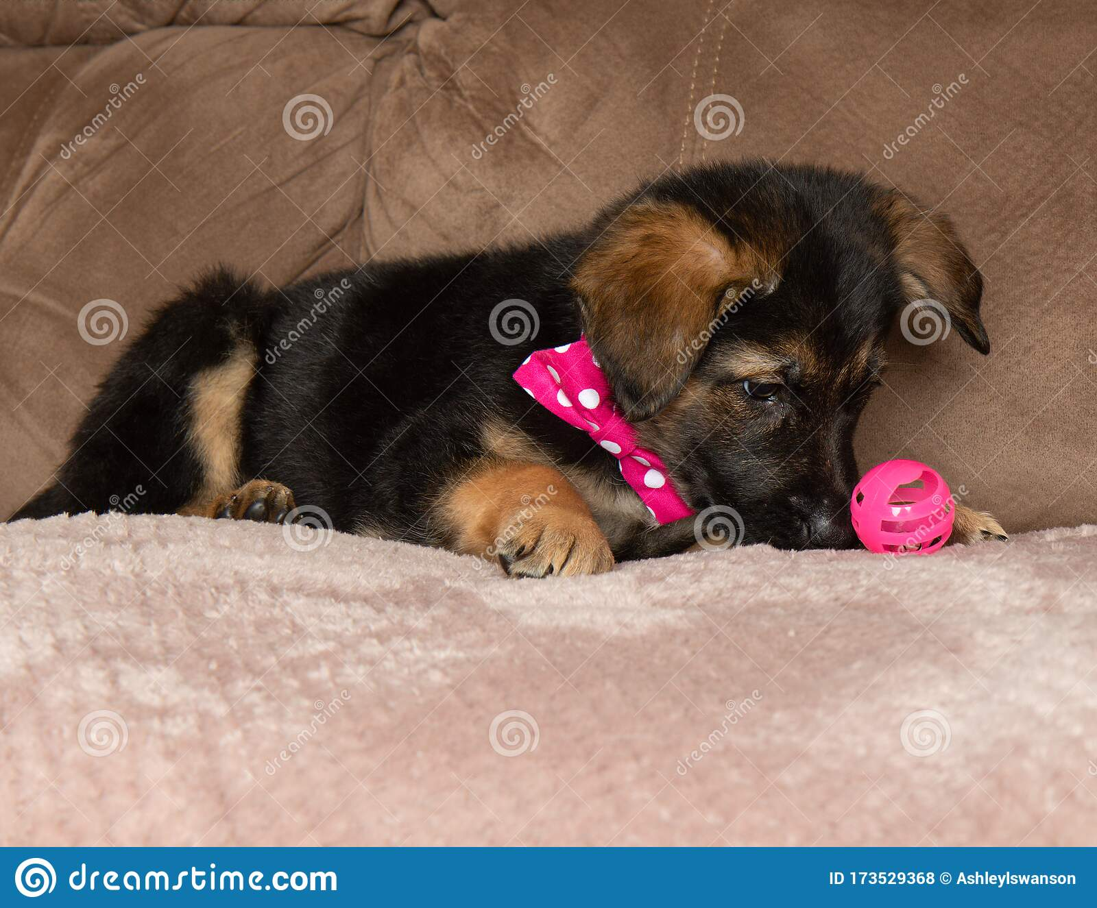 249 Happy German Shepherd Puppy Mix Photos Free Royalty Free Stock Photos From Dreamstime