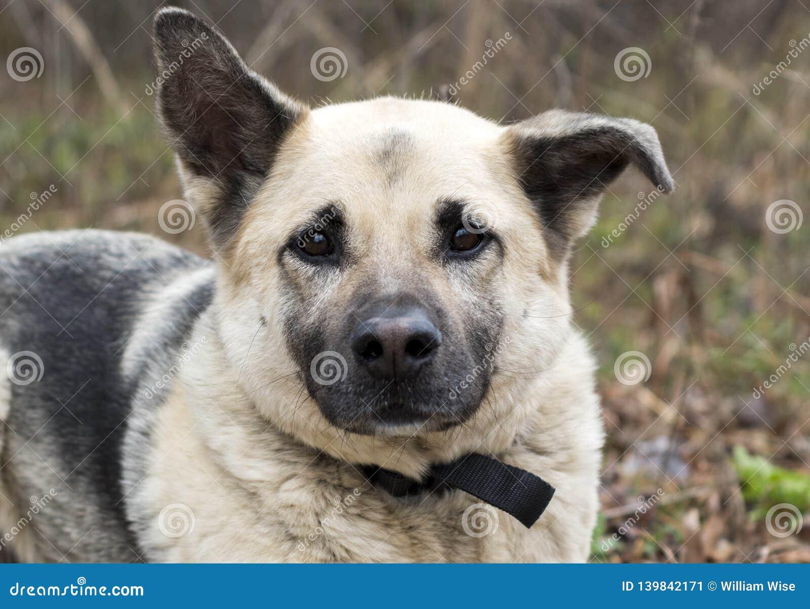 German Shepherd Mixed Breed Dog Adoption Photo Stock Image