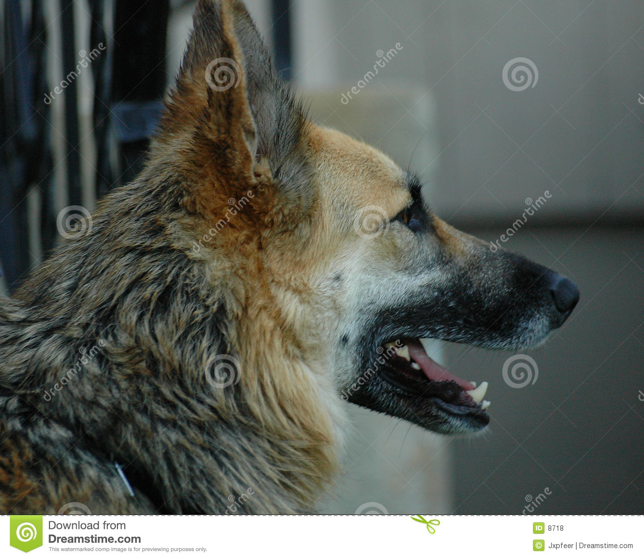 German shepherd profile