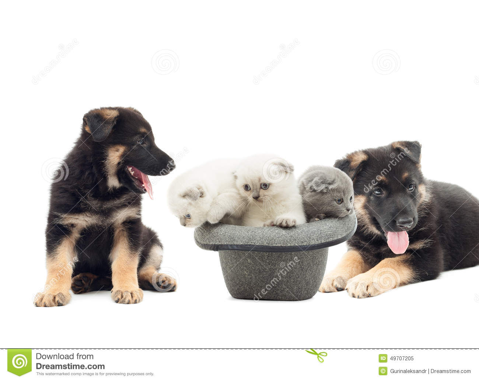 German Shepherd puppies and British Fold kittens