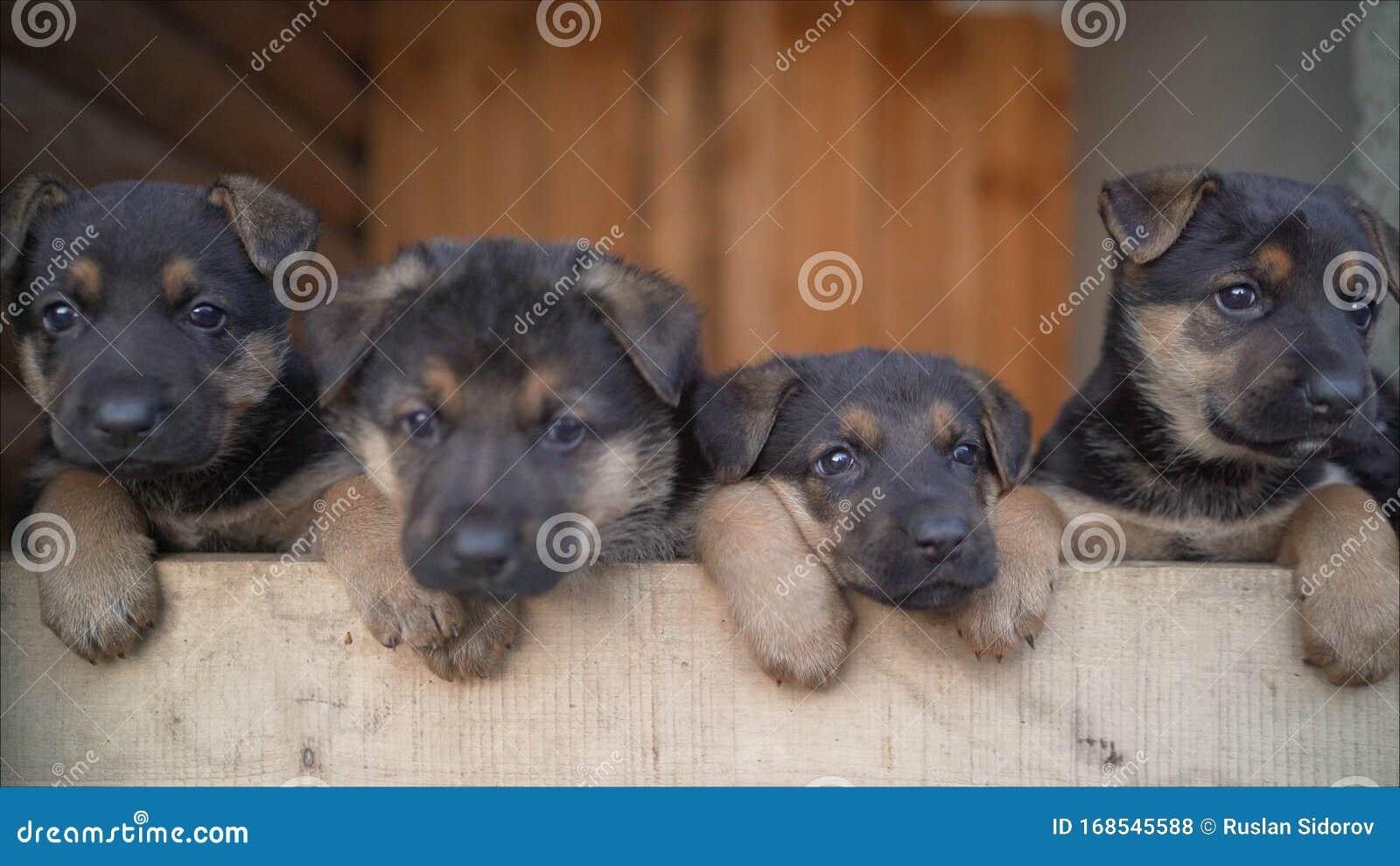 German Shepherd Puppies Many Funny German Shepherd Puppies Head Newborn Puppies Top View Stock Photo Image Of Companion Child 168545588
