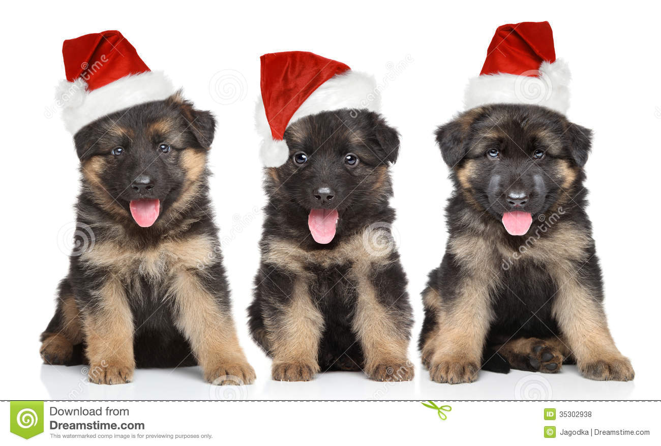 German Shepherd Puppies In Red Santa Hat Stock Photo Image Of