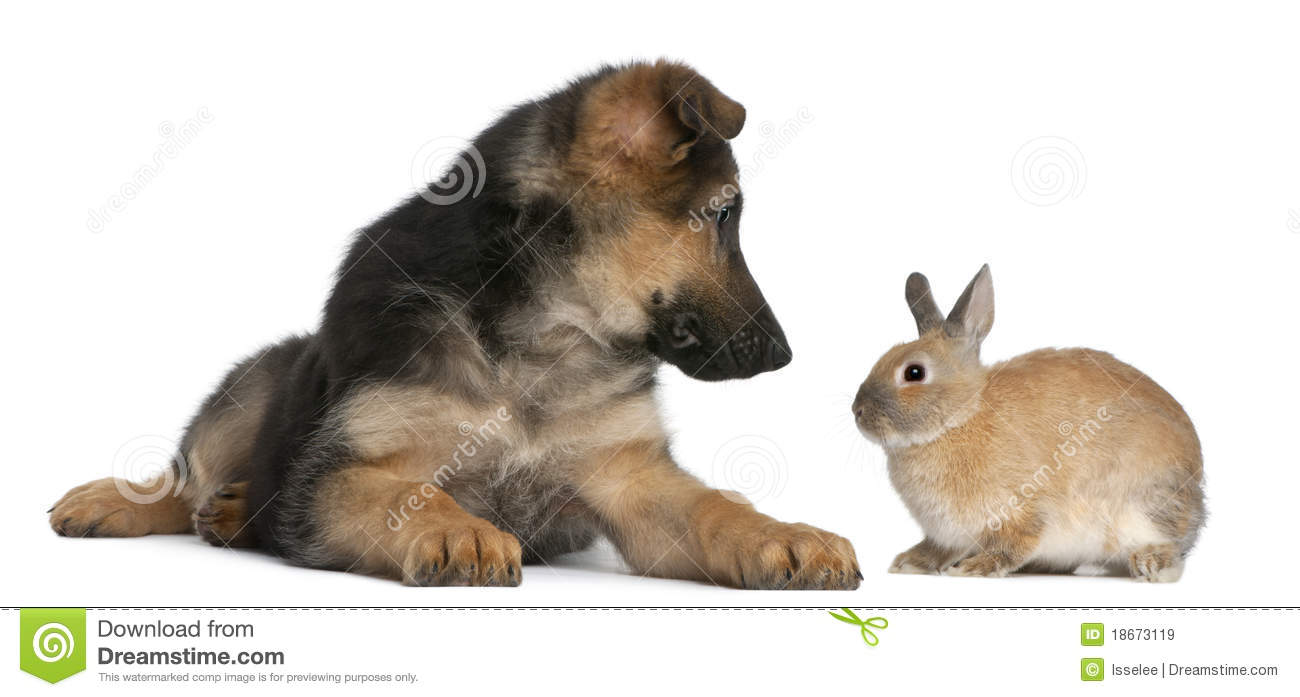Royalty Free Stock Images: German Shepherd puppy, 4 months old, and a
