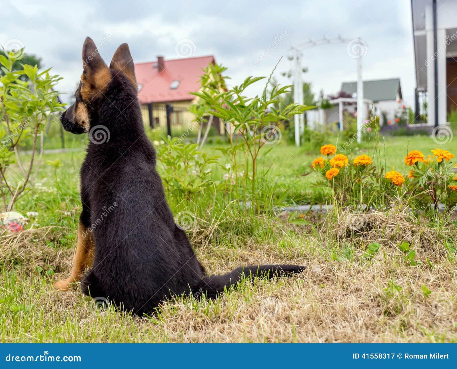German Shepherd puppy charging