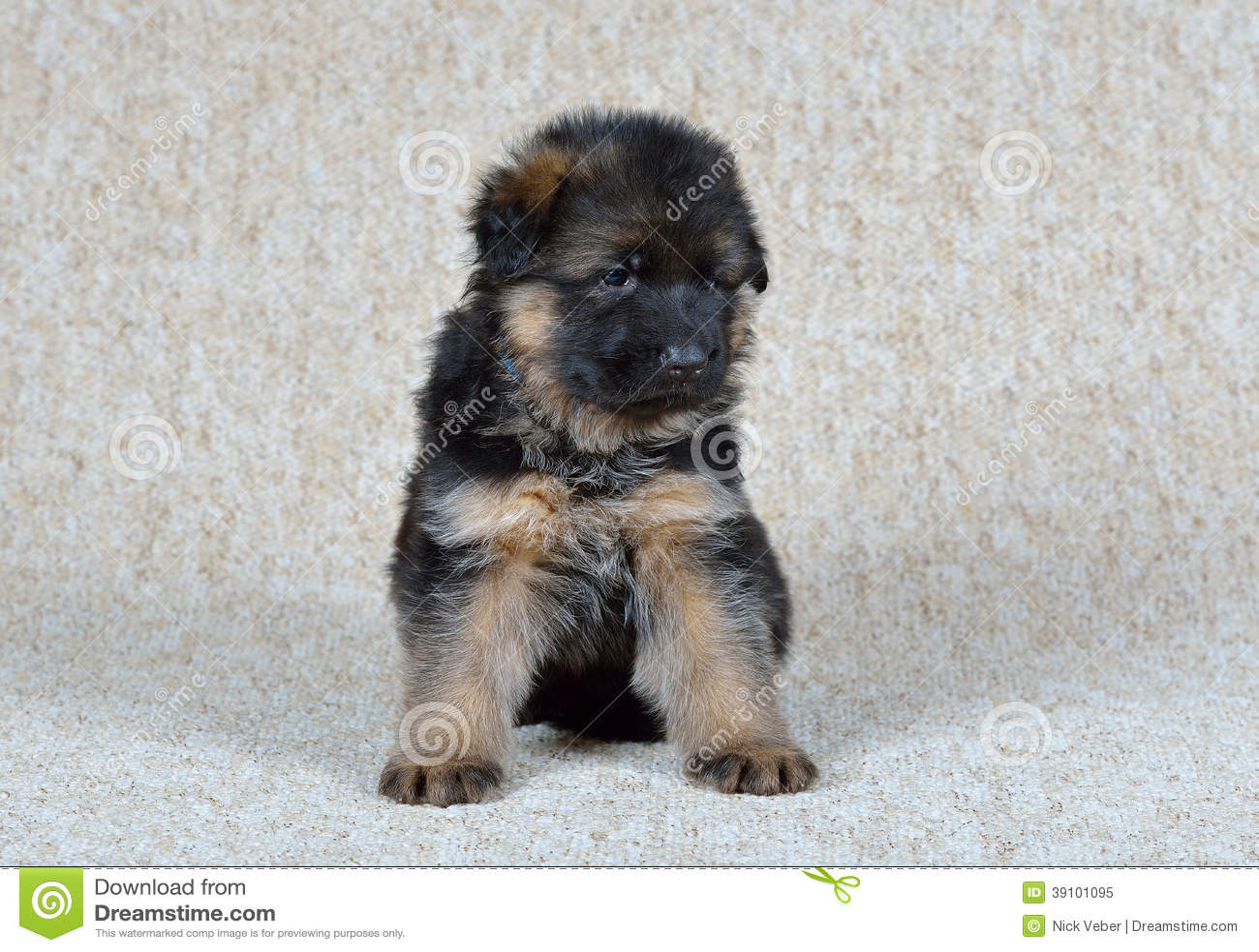 German Shepherd Puppy Stock Image Image Of White Animals 39101095