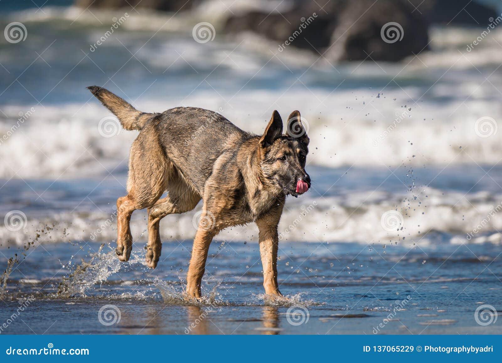 German Shepherd Puppy Playing On Beach Stock Image Image Of