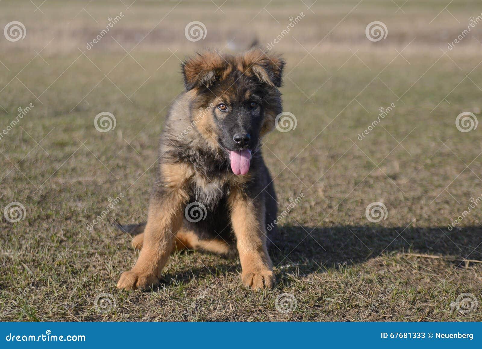 German Shepherd Puppy Stock Image Image Of Smart Spring 67681333