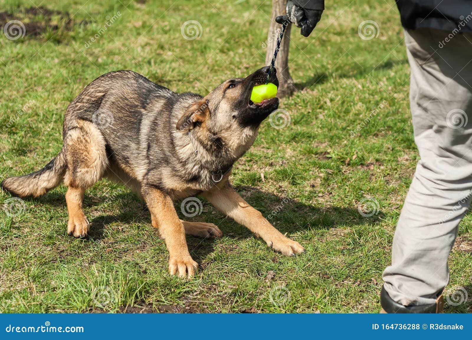 German Shepherd Puppy Training With A Ball Stock Photo Image Of Pedigree Black 164736288
