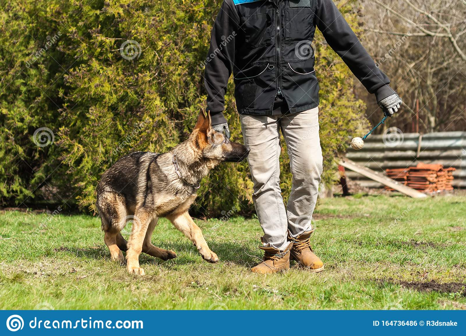 German Shepherd Puppy Training With A Ball Stock Photo Image Of Male Green 164736486