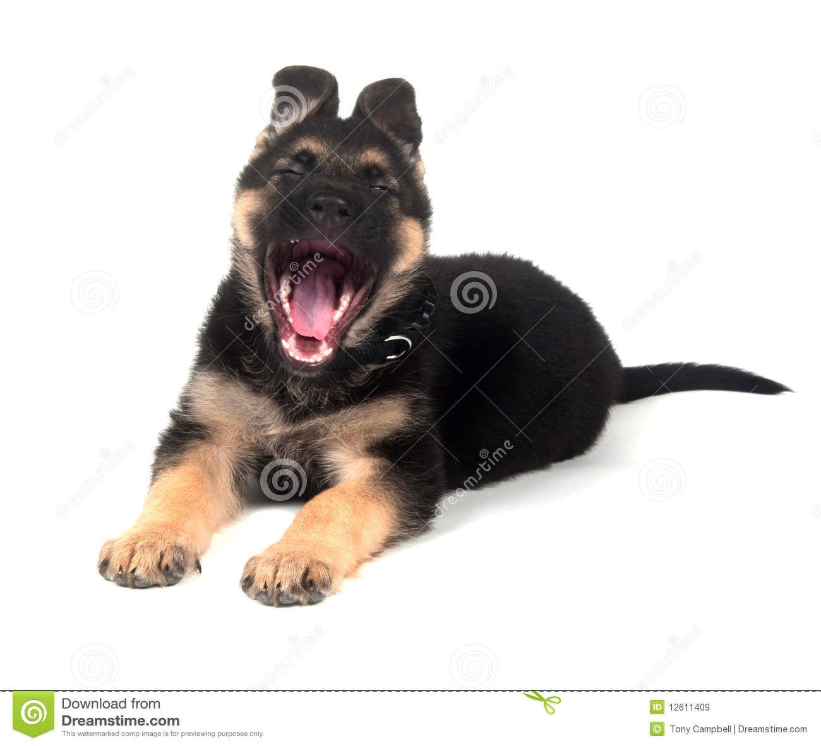 Free White German Shepherd Puppies