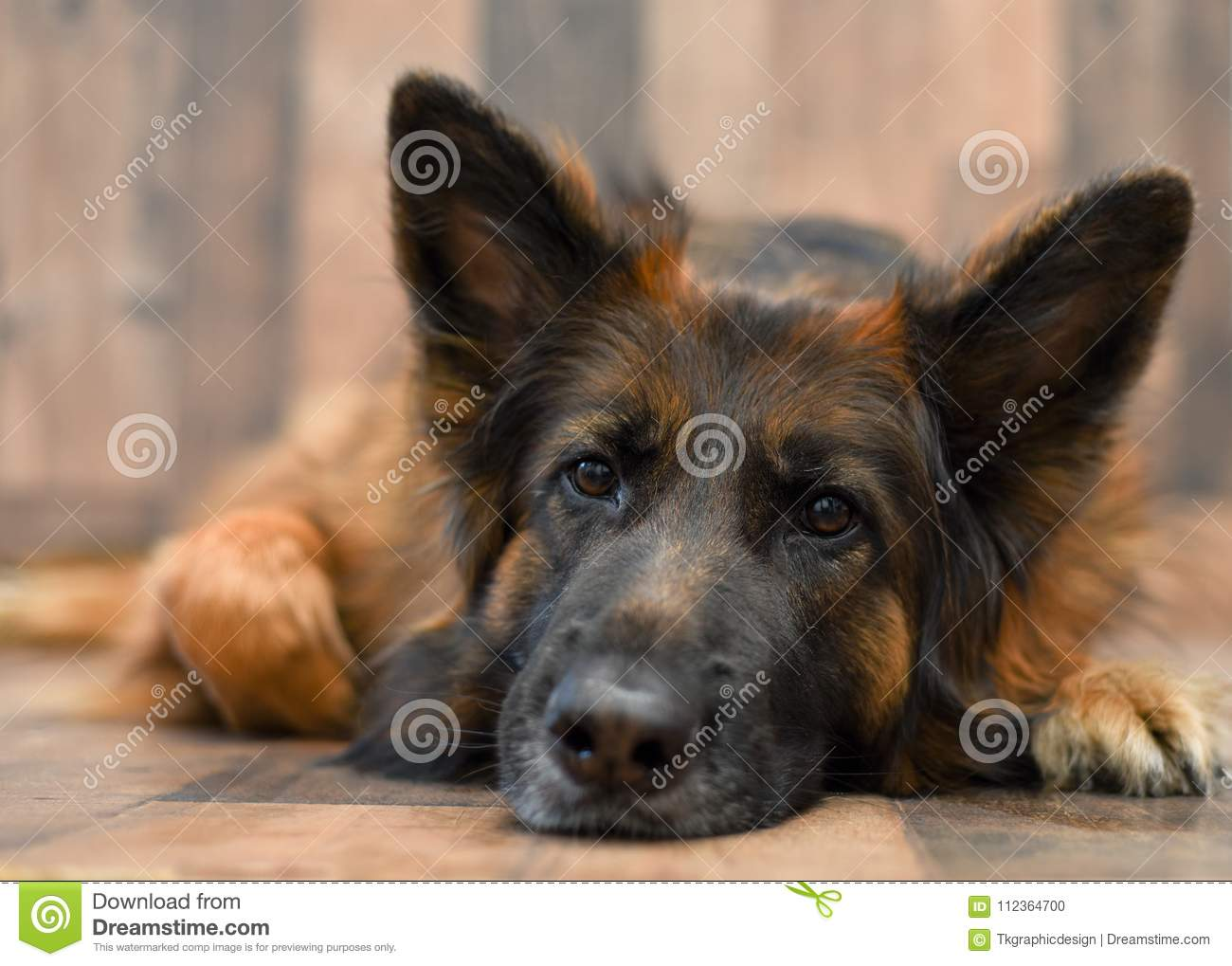 German Shepherd Red And Black Stock Photo Image Of Mammal