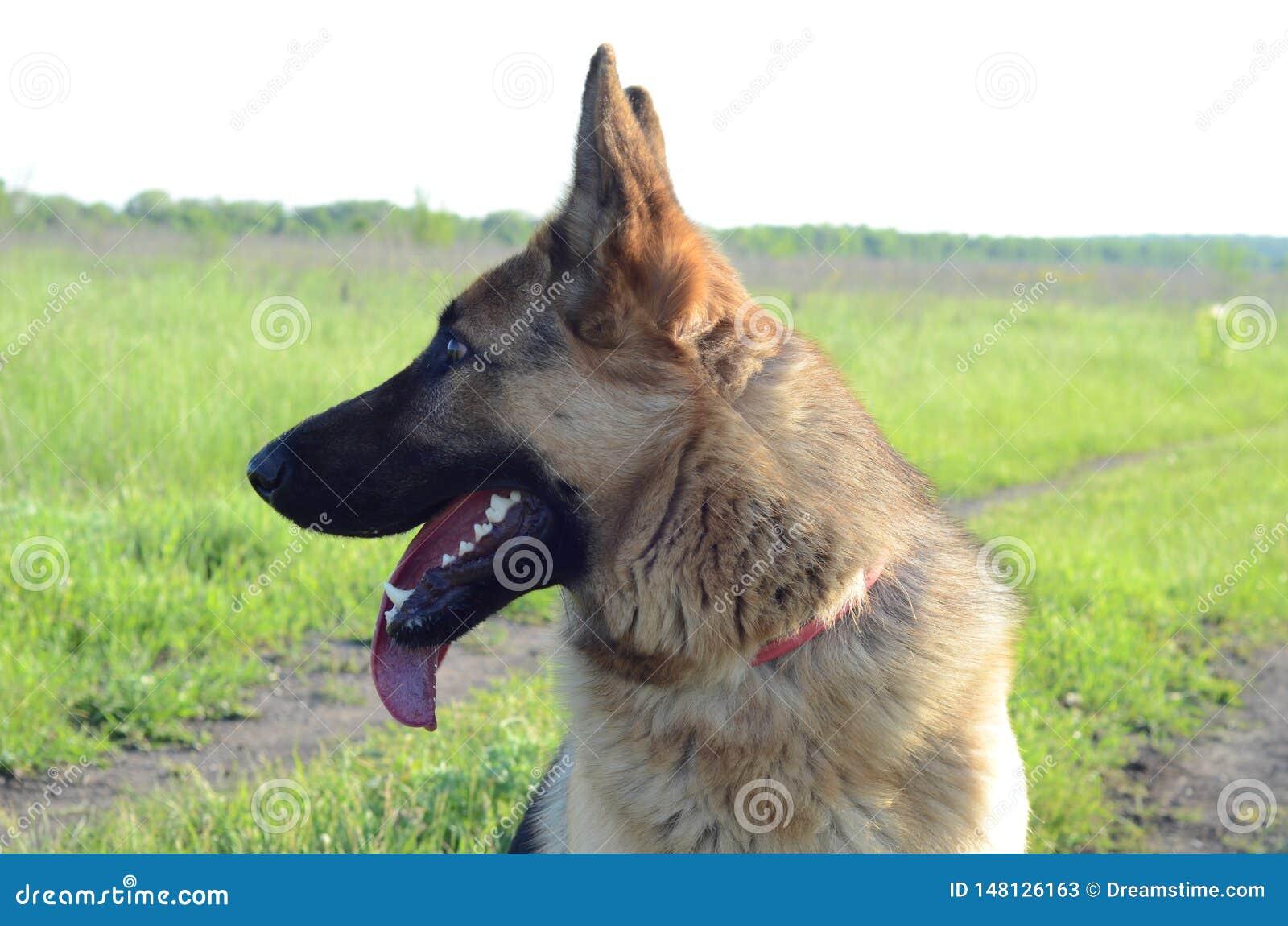 German shepherd stands in the field