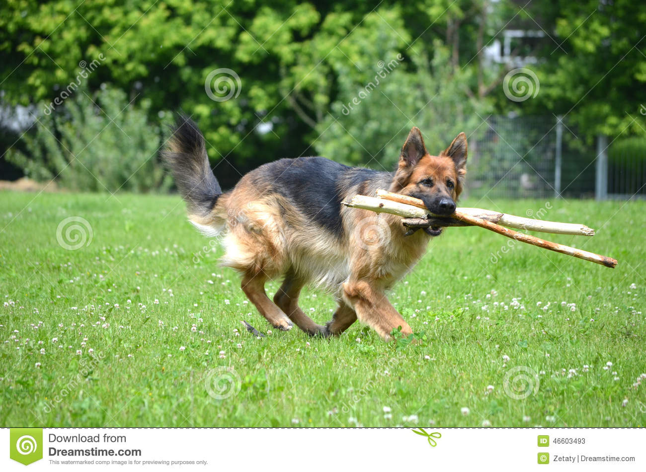 German shepherd with stick