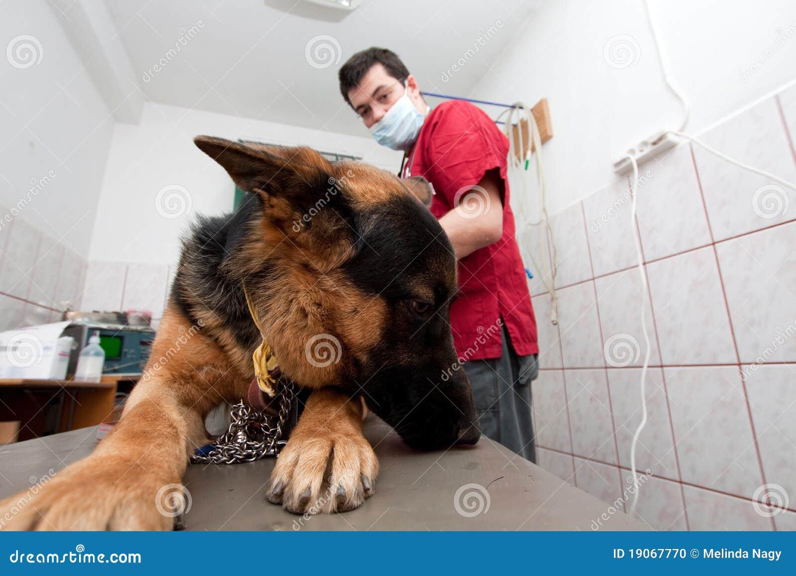German shepherd at vet stock photo. Image of funny, health - 19067770