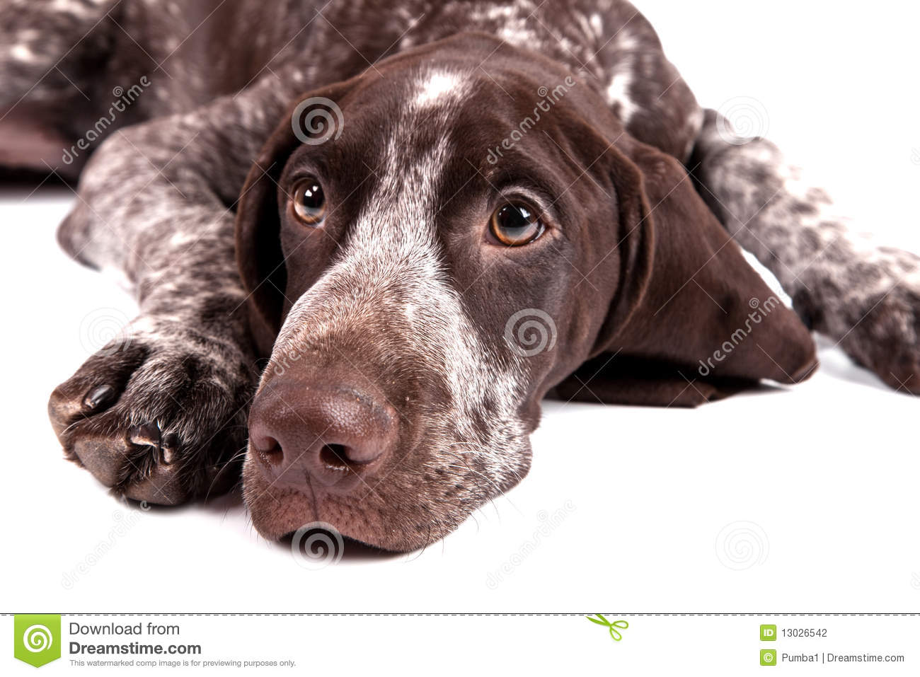 Dog With Ears Pointed Ears And Short Tail